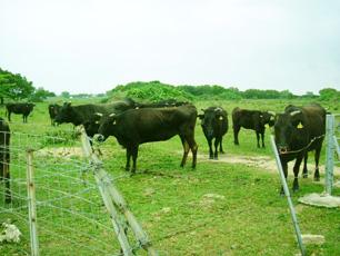 よい牧場から上質の牛肉を